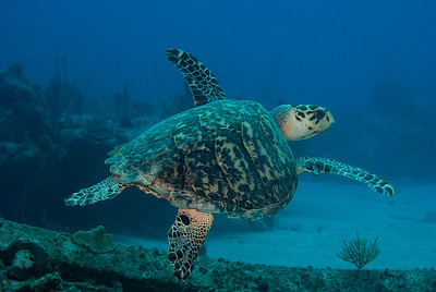 Turtle  A sleeping Turtle awakes and takes flight at the Dome.  Turks & Caicos