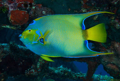 Queen Angelfish  A magnificently colored Queen Angelfish finds refuge inside the Dome.  Turks & Caicos