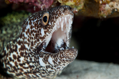 Spotted Moray Eel  A large Spotted Moray Eel shows why it is never wise to reach into a crevice in the coral reef without being absolutely certain what may be lurking within.  Turks & Caicos