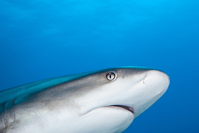 Gray Reef Shark       The ampullae of Lorenzini are special sensing organs on the snout of sharks.   Since all living creatures produce an electrical field by muscle contractions, a shark may pick up weak electrical stimuli from the muscle contractions of animals, particularly prey.  Turks & Caicos