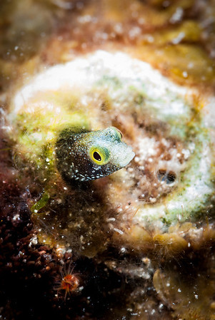 Spinyhead Blenny  A Spinyhead Blenny pokes its head from its hideaway under the Dome.  Turks & Caicos