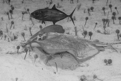 Bar Jack and Southern Stingray  Jacks often accompany stingrays on their feeding forays.  The Ray scours the sand, spooking small fish and crustaceans, which are promptly devoured by the Jack.  Turks & Caicos