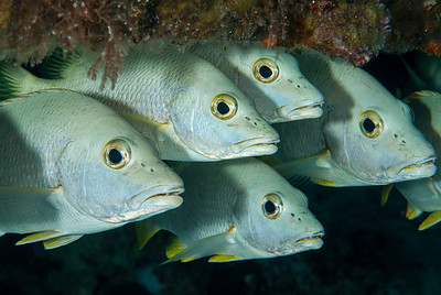 The Eyes Have It  Snappers frequent the underside of the Dome.  Turks & Caicos