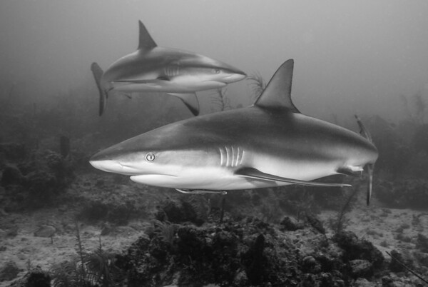 Gray Reef Sharks    A pair of Gray Reef Sharks closes in at Rock N' Roll at French Key.  Turks & Caicos
