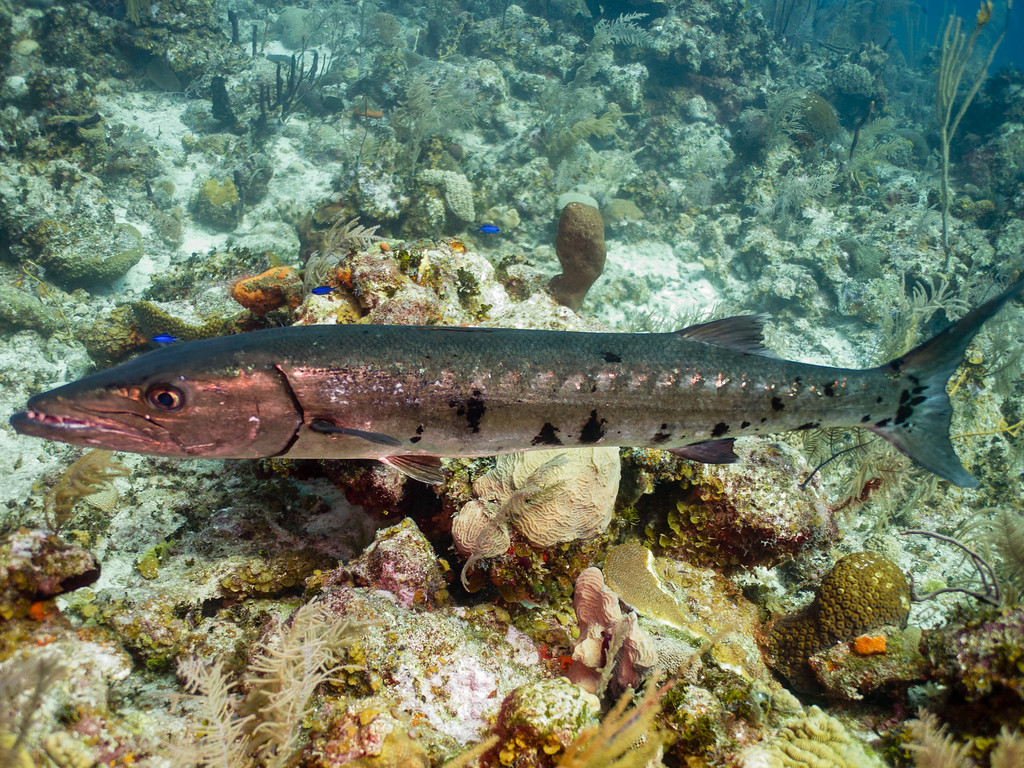 Barracuda in the shallows.  To be totally honest, 'cudas scare me more than sharks do.  Sharks tend to not even care that divers are around, but Barracudas can be very unpredictable.