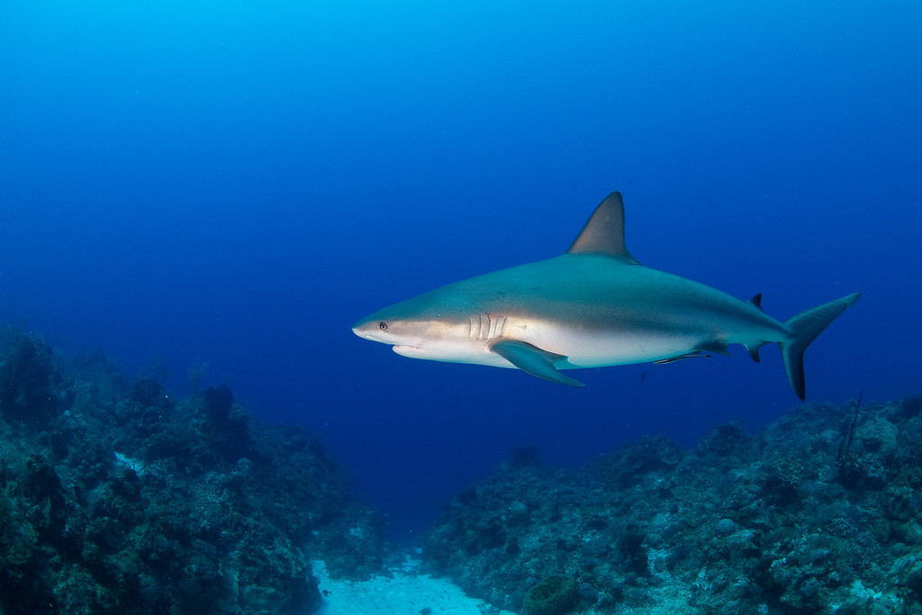 "Sully at the Gully.  A Caribbean Reef Shark ""affectionately known as Sully"" hangs out at a dive site known as The Gully."