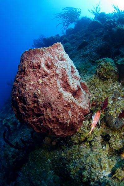 Barrel Sponge.