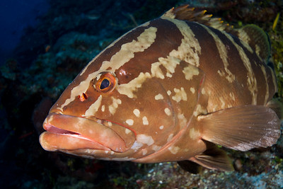 Up close and personal with a Nassau Grouper.