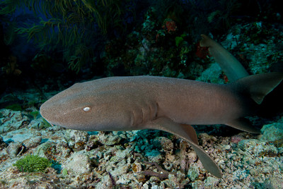 Nurse sharks are commonly found resting on the sandy bottom.  Their movable gills allow them to circulate oxygenated water for respiration.