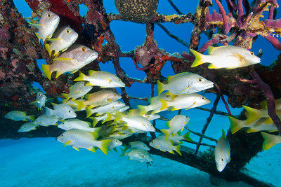 A school of Snappers inhabits the wreckage of the Thunderdome – an underwater habitat constructed for a 1980's French reality TV show.  Colorful sponges and corals now encrust the superstructure of The Dome, which was broken into in several pieces by two hurricanes.