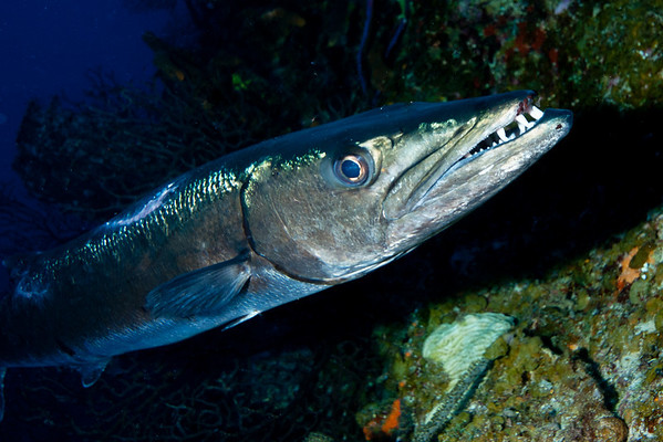 This four-foot Barracuda is one of the largest I have ever seen.  It was lurking under an overhang along the wall at French Cay.  I was able to close to within a few feet with my 24mm wide angle lens for this shot.