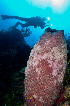 Bob Decker hovers at the top of the wall above a huge barrel sponge.