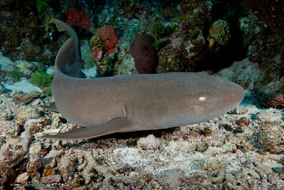 The dive site G-Spot on French Cay is a favorite haunt of the Nurse Shark.