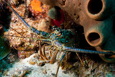 A Spiny Lobster peers from its hiding place in a West Caicos reef.