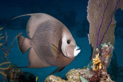 The Gray Angelfish is one of the most common fish on Caribbean reef tops.  They are easily approached and photographed.  Angelfish are among the most easily identified coral reef fishes.