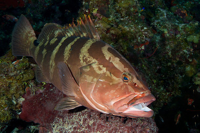 The Nassau Grouper is one of the largest Caribbean reef fish.  I found this one resting on a ledge on the wall at a cleaning station.  The grouper waits patiently for tiny cleaner wrasses to approach.  The grouper benefits by having parasites and dead tissue removed, and the cleaner wrasses enjoy lunch!