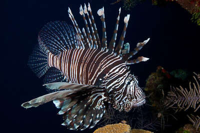 Lionfish in the Turks and Caicos Islands are now prolific.  The debate about what to do to control population growth of this invasive species rages on.