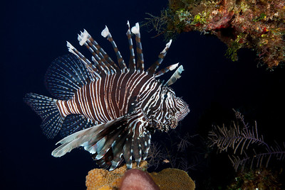 The Common Lionfish had an original habitat of the central and Indo Pacific.  During the last decade it has found its way into the Caribbean, where it is considered an invasive species.  A voracious predator, it threatens many original Caribbean species.  Attempts to control Lionfish populations have been largely unsuccessful.