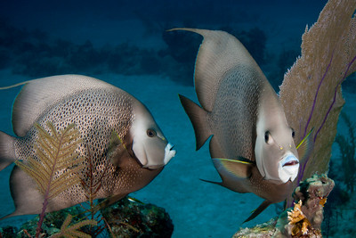 Gray Angelfish often travel in pairs.  They gracefully forage the reef top of West Caicos.
