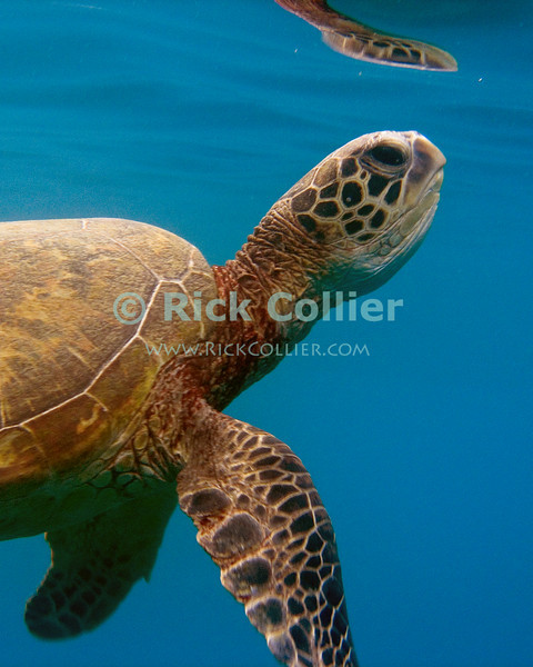 A Hawaiian Green Sea Turtle comes to the surface for a breath of air.  Protected by law in Hawaii, swimmers can collect massive fines for interfering with these turtles.  Though they can stay underwater for very long periods, the sea turtles do breathe air, so have to periodically surface for breath.<br /> <br /> <br /> <br /> <br /> Hawaii Oahu green sea turtle open ocean sea breath breathing surface reflection underwater u/w scuba dive snorkel snorkeling