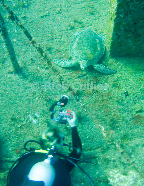 St. Eustatius (Statia) Underwater - A scuba diver moves in to photograph a green sea turtle on the deck of the Chien Tong ship wreck. © Rick Collier
