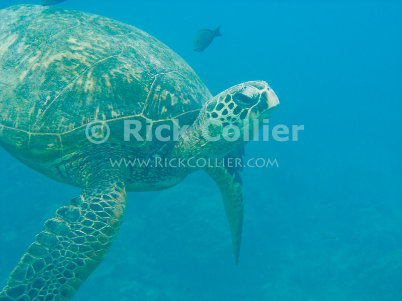 A Hawaiian Green Sea Turtle submerges after surfacing for a breath of air.  Protected by law in Hawaii, swimmers can collect massive fines for interfering with these turtles.  Though they can stay underwater for very long periods, the sea turtles do breathe air, so have to periodically surface for breath.<br /> <br /> <br /> <br /> <br /> Hawaii Oahu green sea turtle open ocean sea breath submerge underwater u/w scuba dive snorkel snorkeling