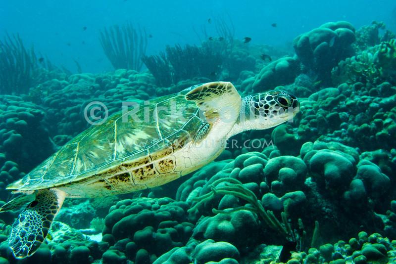 "Diving Bonaire, Netherland Antilles -- A green sea turtle cruises past.  (""Andrea 1"" dive site)  © Rick Collier<br /> <br /> <br /> <br /> <br /> Bonaire; ""Netherlands Antilles""; Caribbean; tropic; tropical; vacation; destination; scuba; diving; dive; ""scuba diving""; ""Andrea 1""; ""Andrea I""; coral; reef; turtle; ""green turtle""; ""green sea turtle"";"