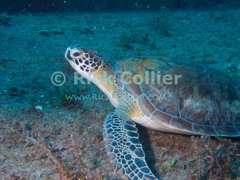 St. Eustatius (Statia) Underwater - While scuba diving on the Chien Tong shipwreck, we found this green sea turtle resting on deck on the sunken ship.  © Rick Collier