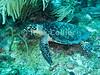 "A hawksbill turtle.  St. Eustatius (Statia), Netherlands Antilles.<br /> <br /> <br /> <br /> <br /> ""St. Eustatius"" ""Saint Eustatius"" Statia Netherlands Antilles ""Lesser Antilles"" Caribbean underwater diving ocean SCUBA dive reef soft coral sand bottom sea floor hawksbill turtle"