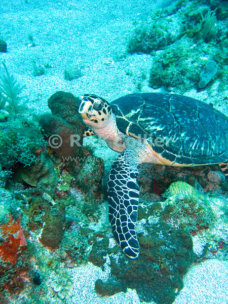 "A hawksbill turtle forages on the reef amid plants and hard and soft corals.  St. Eustatius (Statia), Netherlands Antilles.<br /> <br /> <br /> <br /> <br /> ""St. Eustatius"" ""Saint Eustatius"" Statia Netherlands Antilles ""Lesser Antilles"" Caribbean underwater diving ocean SCUBA dive hawksbill turtle bottom sea floor sea bed reef coral"