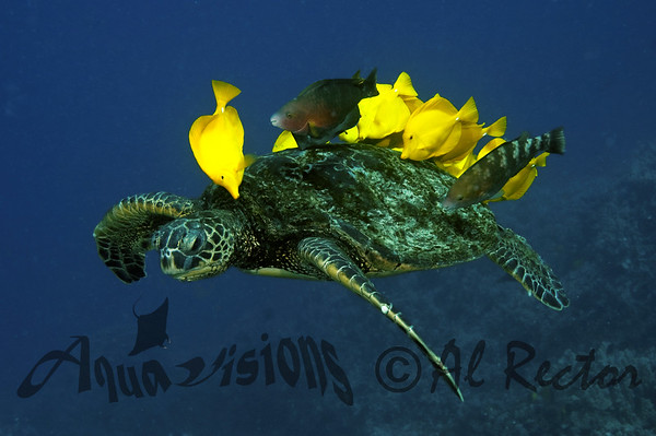 Turtles from Hawaii 2011