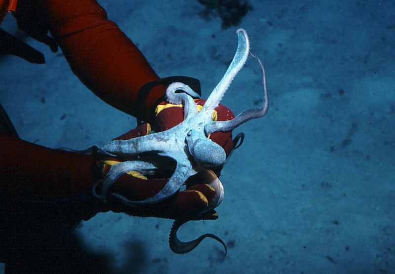 Octopus are sometimes quite playful
