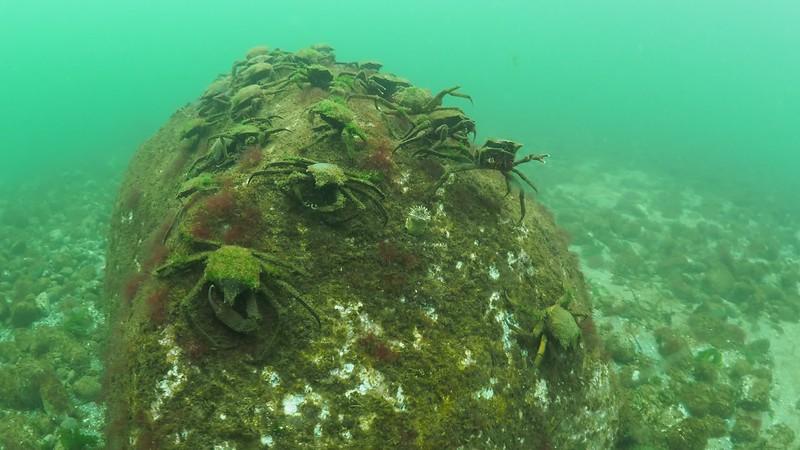 Possession Fingers Nov 14, 2019 N Kelp crabs gathering