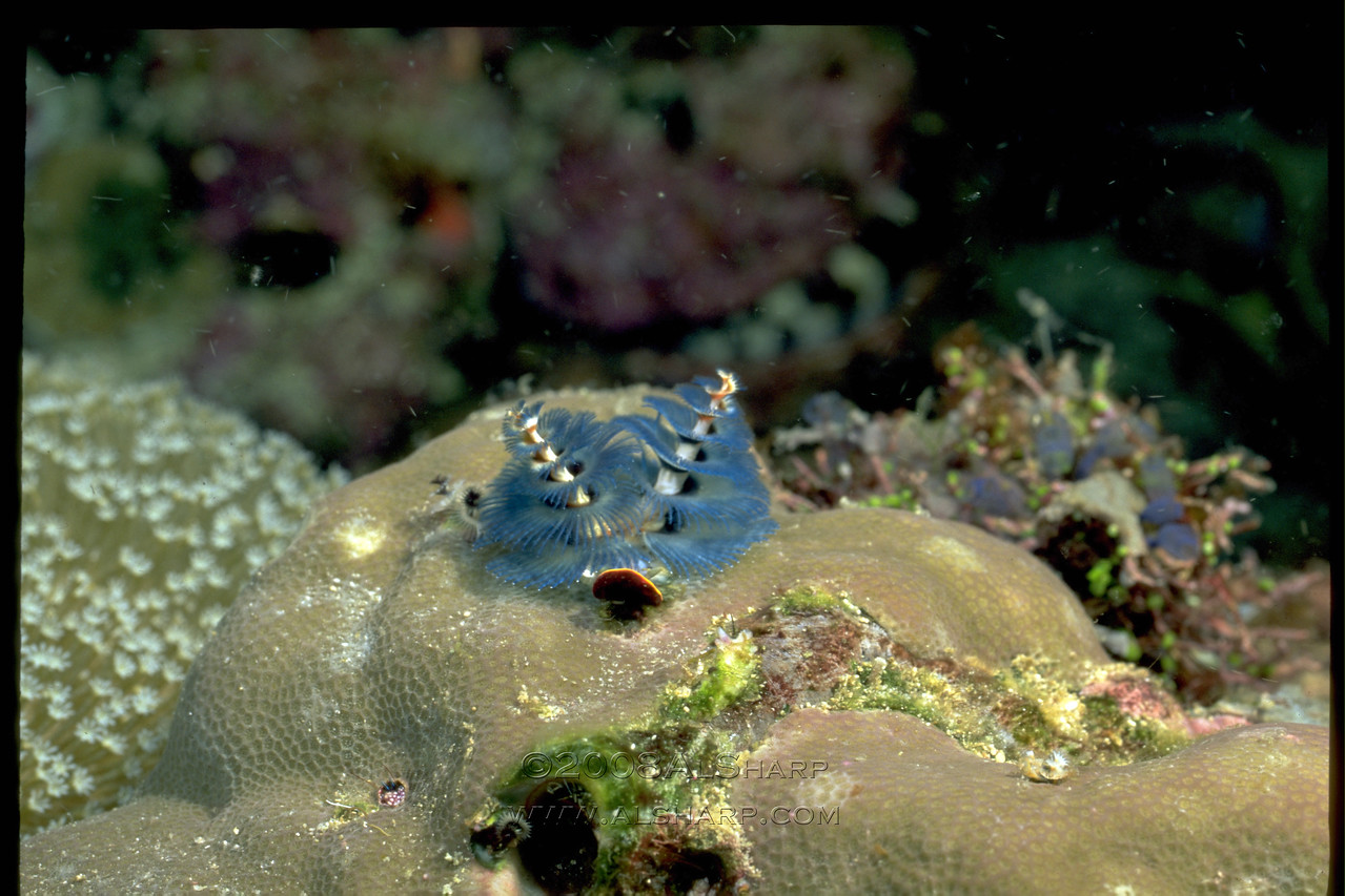 Blue Christmas tree worm   Solomon Islands