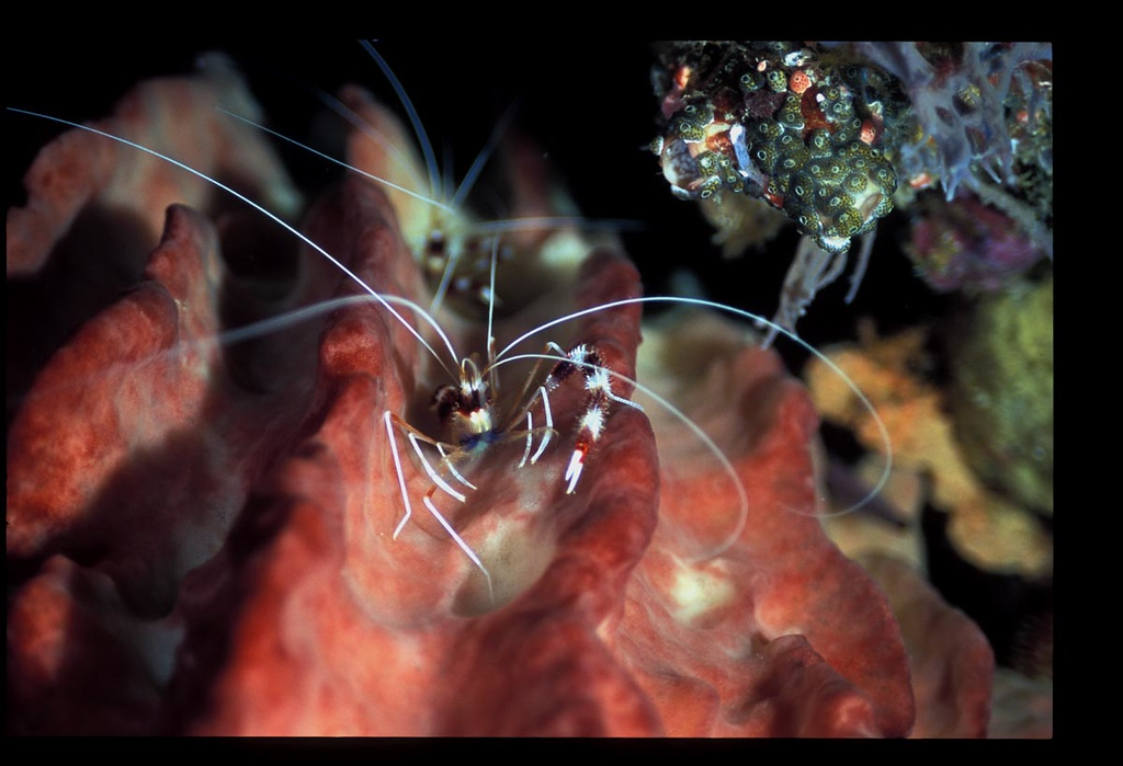 banded shrimp