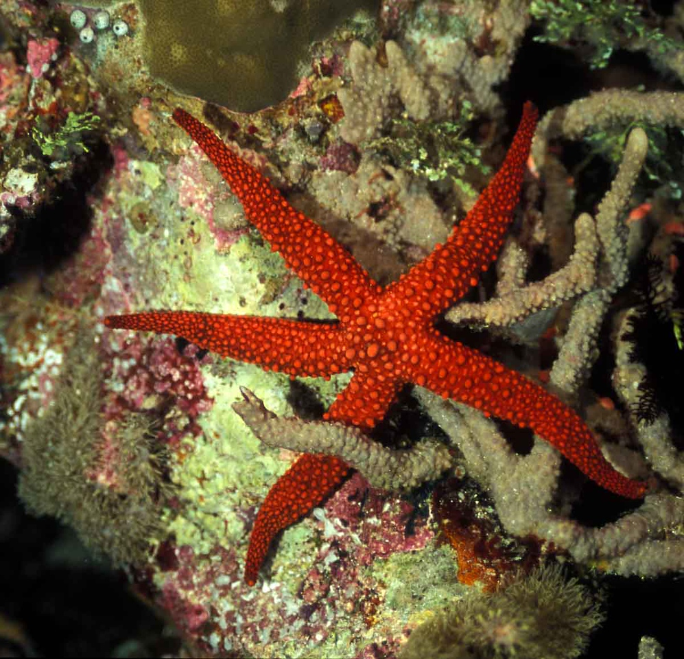 Red Starfish,  Solomon Islands