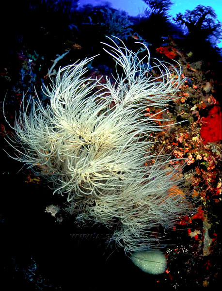 sea fan maybe   Banda Sea  Indonesia