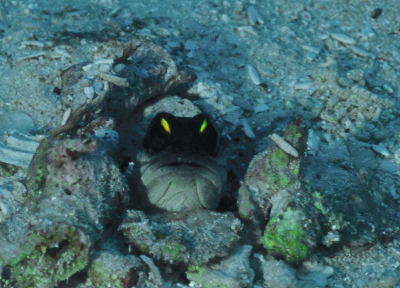 jawfish 3