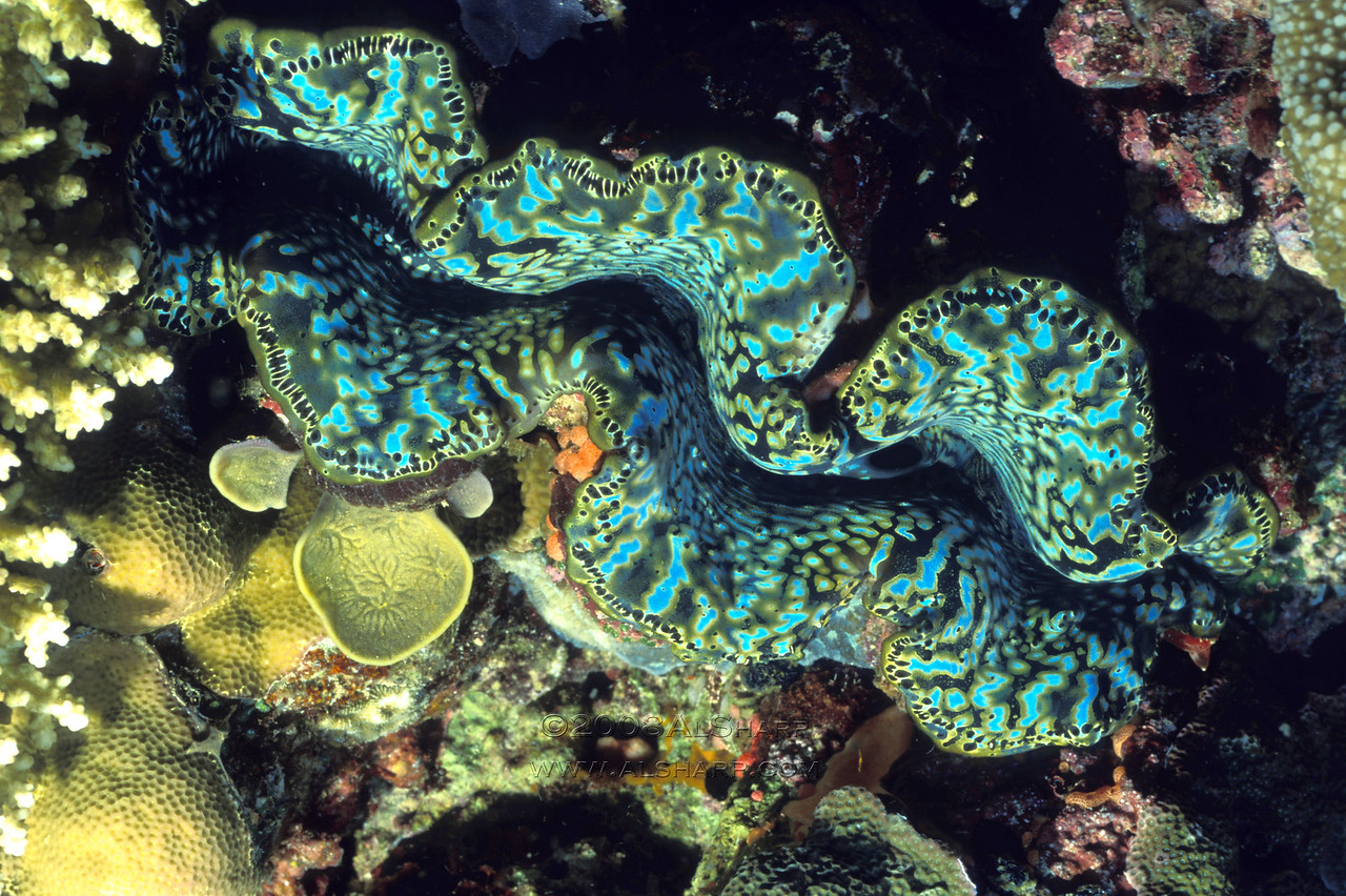 Tridacna Clam ( Giant Clam)  Solomon Islands.   this clam is about three feet across.   The color you see is caused primarily by algae living in the clam's mantle ( the part that looks like protruding wavy lips)   The algae lives within the clams mantle in a symbiotic relationship;  the clam protects the algae and the algae feeds the clam.