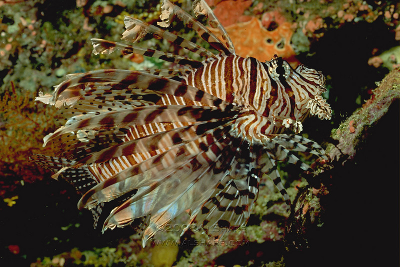 Lion Fish  Solomon Islands