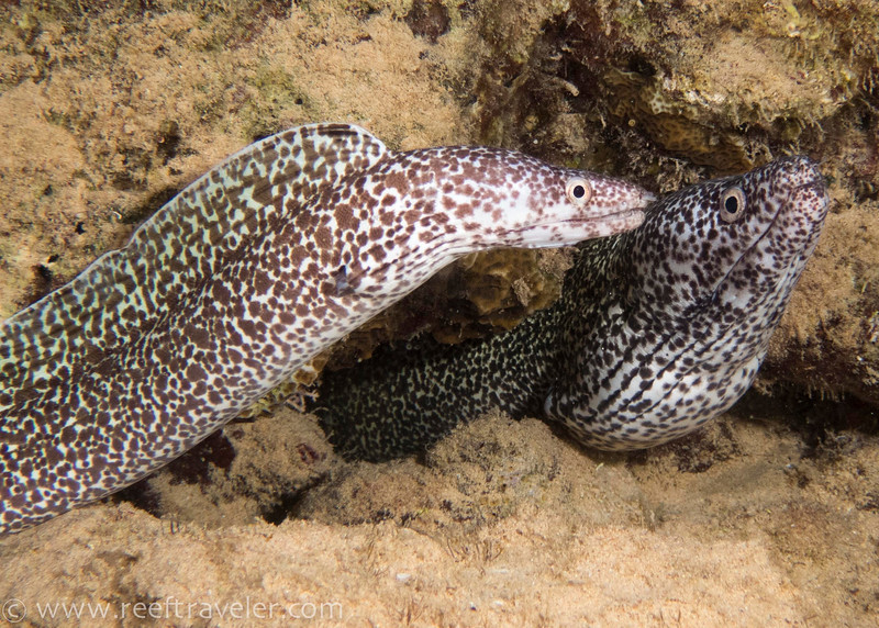 Spotted Moray Eel Pair