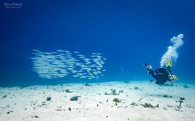 Diver with school of Southern Sennet
