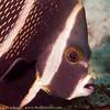 Juvenile French Angelfish Portrait