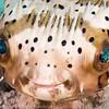 Balloonfish Portrait