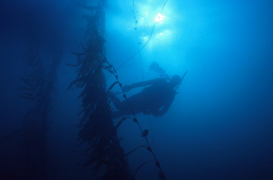 © Joseph W. Dougherty. All rights reserved.   Scuba diver in the Giant Kelp forest. Monterey, CA.