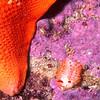 © Joseph Dougherty. All rights reserved.  <font size=5><i>Limacia cockerelli</i> </font>  <font size=5>Cockerell's nudibranch </font>  Limacia cockerelli nudibranch beside the tip of a batstar  (<i>Patiria miniata</i>, formerly <i>Asterina miniata</i>) arm.   <font size=3>Synonym: <i>Laila cockerelli</i></font>   Monterey, CA.