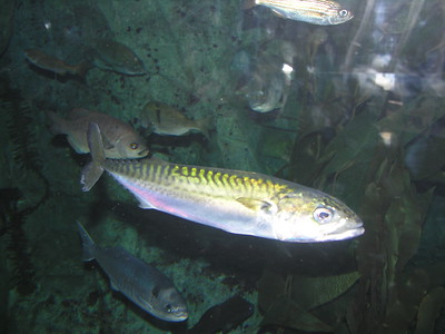 © Joseph W. Dougherty. All rights reserved.   LOW RESOLUTION SAMPLE  Pacific Green Mackerel (Scomber japonicus). Also called American mackerel, greenback jack, chub mackerel. Pacific mackerel are distinguished by having green coloration along the back. They often travel in schools, eating fish, crustaceans, and squid.  [image depicts captive specimen]