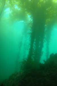 © Joseph Dougherty. All rights reserved.   Sunlight filters through the canopy of giant kelp floating at the surface of Monterey Bay.