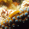 © Joseph Dougherty. All rights reserved.   <font size=5><i>  Triopha maculata</i></font>    <font size=5>Spotted Triopha nudibranch</font>  A tiny Spotted Triopha nudibranch (<i>Triopha maculata</i>) crawls along the arm of a giant spined seastar (<i>Pisaster giganteus</i>).   Santa Rosa Island, Channel Islands National Marine Sanctuary; Santa Barbara County, CA.