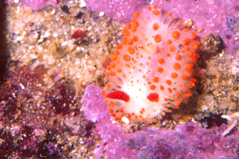 © Joseph Dougherty. All rights reserved.  <font size=5><i>Limacia cockerelli</i> </font>  <font size=5>Cockerell's nudibranch </font>  <font size=3>Synonym: <i>Laila cockerelli</i></font>   Limacia cockerelli is a species of sea slug, a dorid nudibranch, a shell-less marine gastropod mollusk in the family Polyceridae. This species is found from the West coast of North America ranging from Vancouver Island, British Columbia, Canada to Baja California. It has also been found in the Gulf of California at Bahía de los Ángeles.   It is found in two forms. The northern form has white tubercles down the middle of the dorsum. The second form, found in areas south of Point Conception have tubercles that are slightly longer and tipped with orange. Intermediate forms exist in central and northern California. Another form in California has large red blotches on the dorsum. The eggs of the Limacia cockerelli are pink and develop after 17 days, (at 10-13 degrees C), into hatching planktotrophic veligers.  This animal preys exclusively on the orange-brown colored bryozoans, Hincksina velata and Membranopora.  Monterey, CA.